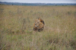 Traveling Africa, Lions, Lions in Africa, Travel Tips, Backpacking Tips, Backpacking Gear