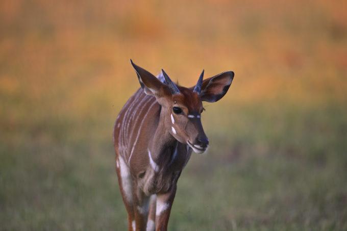 African Safari, Gazelles in Africa, African Safari Animals