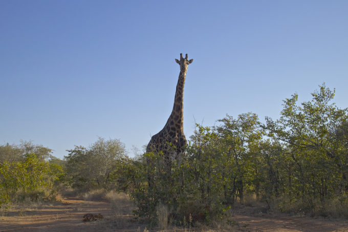 Giraffe in Africa on a Cheap African Safari, Backpacking Africa for Beginners