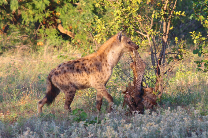 A Hyena Eating Another Animal on a cheap African Safari, Backpacking Africa for Beginners