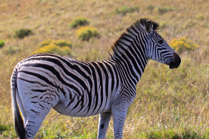 Zebras in Africa on Cheap Safari, Backpacking Africa for Beginners
