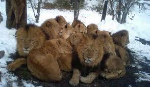Lions be wishing they packed for colder weather, Backpacking Light, backpacking africa for beginners