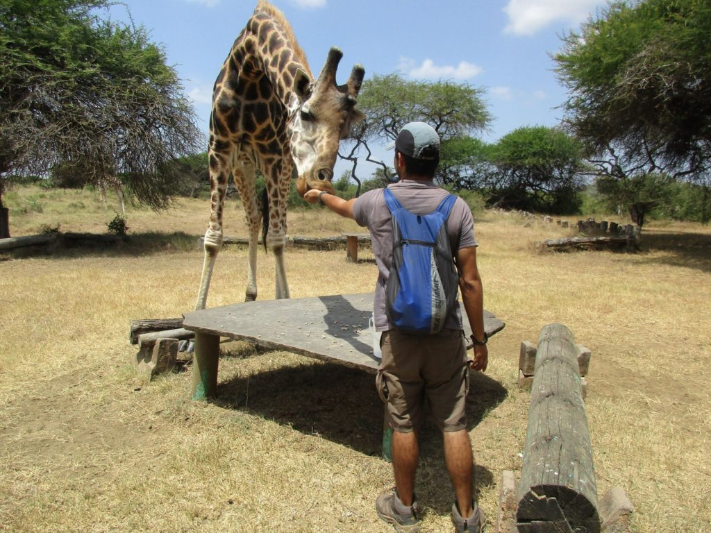 traveler in africa, backpacking kenya, giraffes, feeding giraffes