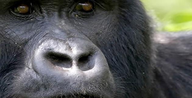 African travel destinations, rwanda uganda gorillas